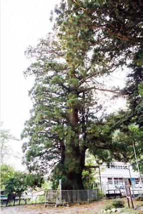 碑精進諏訪神社にある精進の大杉