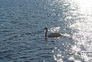 きらきらと輝く湖面と白鳥