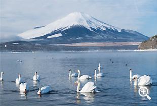 山中湖を象徴する白鳥たち