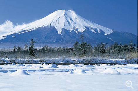雪に覆われたハリモミ純林地帯